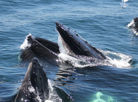 Jul 06, · On a recent whale watch trip, people filled the Portuguese Princess in Provincetown to catch a glimpse of these wild creatures. The whales come to Cape Cod every year .